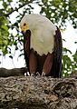 African fish eagle, Haliaeetus vocifer, at Chobe National Park, Botswana (32832140793).jpg