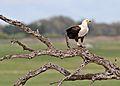 African fish eagle, Haliaeetus vocifer, at Chobe National Park, Botswana (32832141503).jpg