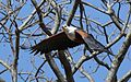 African fish eagle, Haliaeetus vocifer, at Lake Chivero, Harare, Zimbabwe (21313312803).jpg