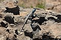 Agama in Blyde River Canyon 01.jpg
