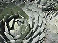 Agave parryi var. huachucensis (6728163295).jpg