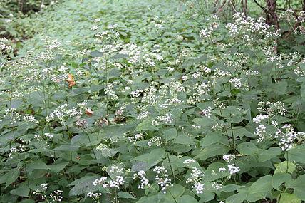 Ageratina altissima SCA-5475.jpg