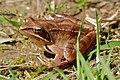 Agile frog (Rana dalmatina) (17024220509).jpg