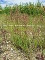 Agrostis stolonifera sl6.jpg