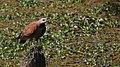 Aguililla Canela - panoramio.jpg