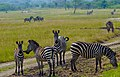 Akagera National Park - Troupeau de zèbres.jpg