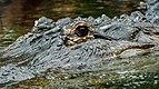 Alligator mississippiensis - Loro Parque 01.jpg