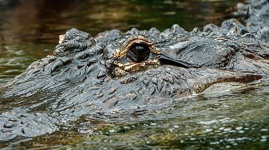 Alligator mississippiensis (Daudin, 1802) (American alligator), Loro Parque, Tenerife
