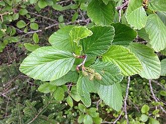 Alnus viridis - Image: Alnus crispa