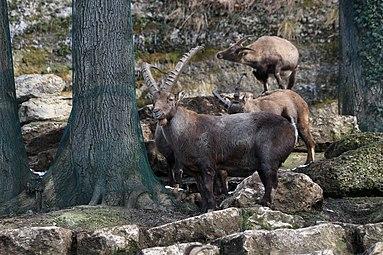 Alpensteinbock (Capra ibex) Zoo Salzburg 2014 b.jpg