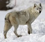 Alpha female of the Canyon pack (cropped).jpg