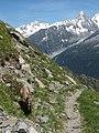 Alpine Ibex (Bouquetin) @ Path from L'Index to Col de la Gliere @ Hike to Lacs des Chéserys, Lac Blanc, Lac Cornu & Lacs Noirs @ Chamonix (15174716089).jpg