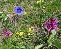 Alpine meadow flowers - Flickr - gailhampshire.jpg