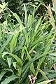 Alpinia nutans 10zz.jpg