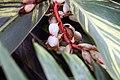 Alpinia zerumbet 20zz.jpg