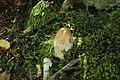 Amanita rubescens (21).jpg