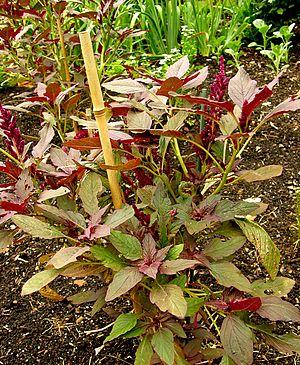 Amaranthus cruentus - Image: Amaranthus cruentus 'Oeschberg' Plant 1200px