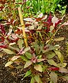 Amaranthus cruentus 'Oeschberg' Plant 1200px.jpg