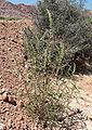 Amaranthus fimbriatus 1.jpg
