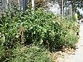 Amaranthus viridis sl7.jpg