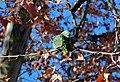 Amazona fg01.jpg