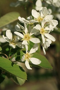 Amelanchier-spicata-flower-head.jpg