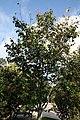 Amelanchier arborea Robin Hill 2zz.jpg