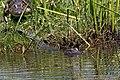 American Alligator Anahuac NWR High Island TX 2018-04-17 11-26-45 (27078922727).jpg