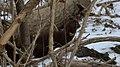American Mink (Neovison vison) - Cambridge, Ontario 2019-02-09 (03).jpg