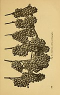 American grape growing and wine making (1883) (18147736395).jpg