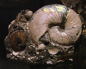 Pangaea - Example of an ammonite