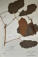 Ampelocissus asekii holotype - PhytoKeys-021-001-g001.jpeg