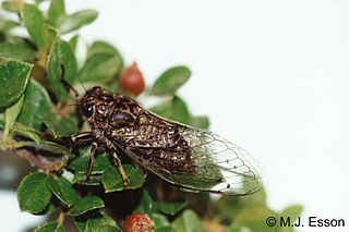 Cicadettini Tribe of cicada insects