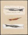 Amphisile scutata - 1700-1880 - Print - Iconographia Zoologica - Special Collections University of Amsterdam - UBA01 IZ13800119.tif