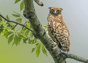 Brown fish owl - An adult Brown Fish Owl at Barpeta Assam by Hedayeat Ullah