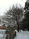 An oak, Beberbeķu street, SWward, outskirts of Riga, January 2012 - panoramio.jpg