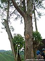 An old thick tree at Sungei Palas BOH Tea Centre, Cameron Highlands.jpg