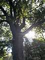 """Ancient OAK TREE, in Brwinow Poland, located on Pszczelinska nr.6 - 8, zip code 05-840. Rainbow of LIGHT & """" LOTAN """". The tree is a Monument of Nature..JPG"""