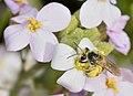 Andrena savignyi female 2.jpg