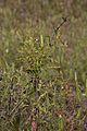 Andrographis paniculata - Agri-Horticultural Society of India - Alipore - Kolkata 2013-01-05 2271.JPG