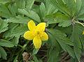 Anemone ranunculoides, gele anemoon (1).jpg