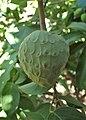 Annona cherimola kz01.jpg