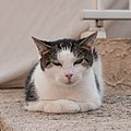 Another Corsican cat (8132697203).jpg