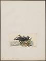 Anous melanops - 1820-1860 - Print - Iconographia Zoologica - Special Collections University of Amsterdam - UBA01 IZ17900412.tif