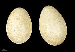 Anser erythropus MHNT.ZOO.2010.11.14.6.jpg