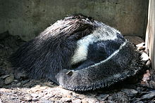 Anteater Wikipedia