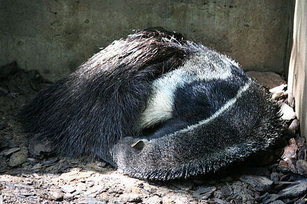 Sleeping giant anteater AnteaterAsleep.JPG