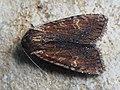 Apamea crenata - Clouded-bordered brindle - Полевая совка сельская (42269918474).jpg