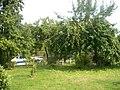 Apfelbaum - panoramio (2).jpg
