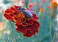 Apis mellifera on Tagetes sp. flower.jpg